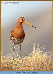 black-tailed-godwit-108.jpg