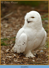 snowy-owl-04c.jpg