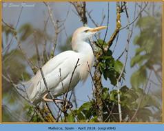 cattle-egret-84.jpg