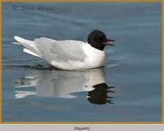 little-gull-40.jpg