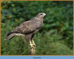 buzzard-104.jpg