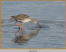 spotted-redshank-12.jpg
