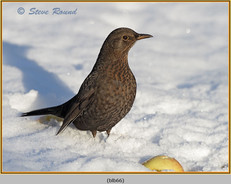 blackbird-66.jpg