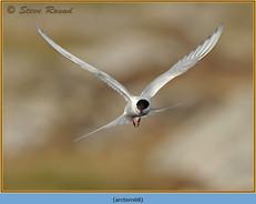 arctic-tern-68.jpg