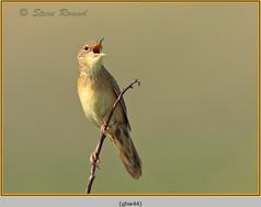 grasshopper-warbler-44.jpg