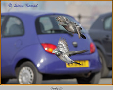 feral-pigeon-10.jpg