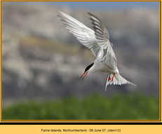 common-tern-12.jpg