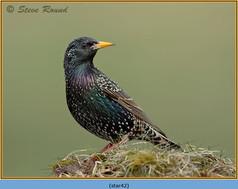 starling-42.jpg
