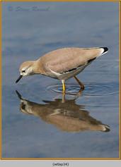 white-tailed-lapwing-34.jpg