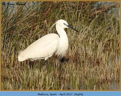 little-egret-94.jpg