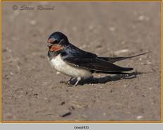 swallow-43.jpg
