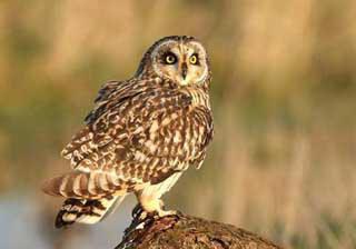 short-eared-owl-1.jpg