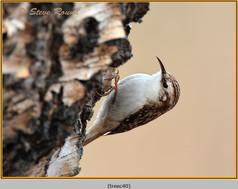 treecreeper-40.jpg