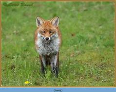 fox-61.jpg