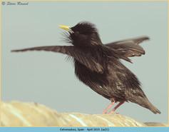 spotless-starling-21.jpg