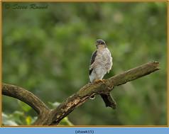 sparrowhawk-15.jpg