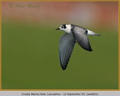 white-winged-black-tern-01.jpg