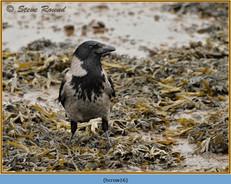 hooded-crow-16.jpg