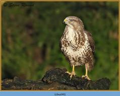 buzzard- 99.jpg