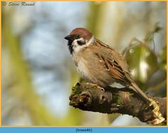 tree-sparrow-46.jpg