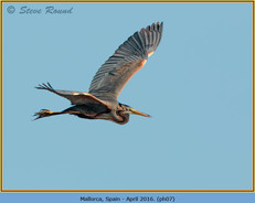 purple-heron-07.jpg