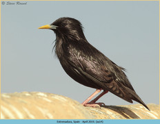 spotless-starling-14.jpg