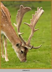 fallow-deer-12.jpg