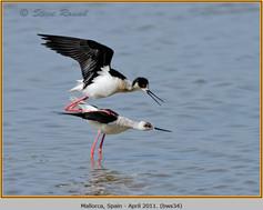 black-winged-stilt-34.jpg