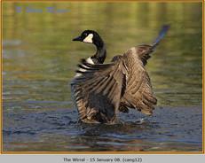 canada-goose-12.jpg