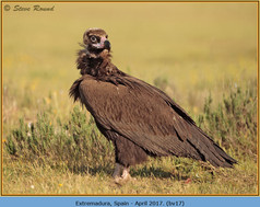 black-vulture-17.jpg
