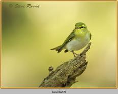 wood-warbler-52.jpg