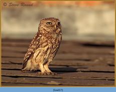 little-owl-27.jpg