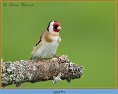 goldfinch-75.jpg