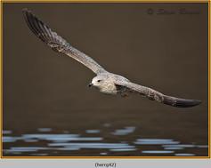 herring-gull-42.jpg