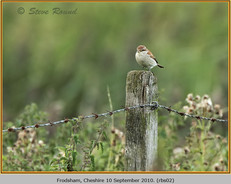 red-backed-shrike-02.jpg