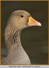 greylag-goose-12.jpg