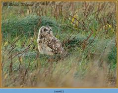 short-eared-owl-61.jpg