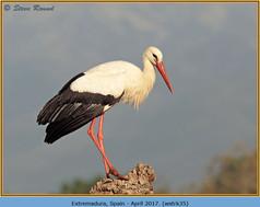white-stork-35.jpg