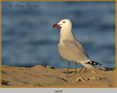 audouin's-gull-10.jpg