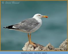 yellow-legged-gull-55.jpg