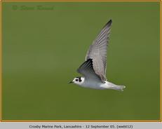 white-winged-black-tern-12.jpg