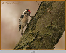 lesser-spotted-woodpecker-02.jpg