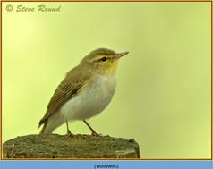 wood-warbler-60.jpg