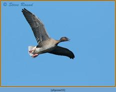 pink-footed-goose-55.jpg