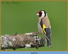 goldfinch-76.jpg