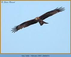black-kite-07.jpg