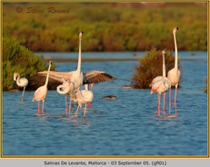 greater-flamingo-01.jpg