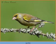 greenfinch-56.jpg