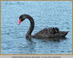 black-swan-01.jpg