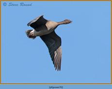 pink-footed-goose-70.jpg